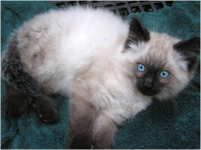 How cooling affects Ragdoll kitten's coloring
