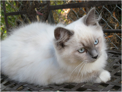 Photo 2 Ragdoll Kittens playing outside in a protected area