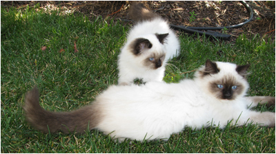 Photo 1 Ragdoll Kittens playing outside in a protected area