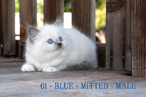 Blue Mitted Male