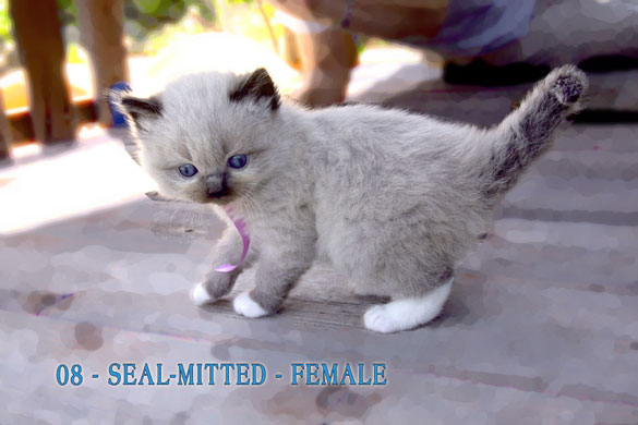 Seal Mitted Female